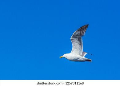 california gull flying in the blue sky