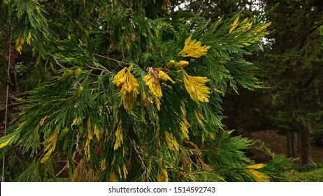 California incense cedar tree branches with yellow needle-like leaves & cones,contrasting with green cones,leaves in summer. Coniferous cypress. Luxuriant aureovariegata branches. Calocedrus decurrens