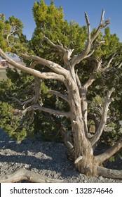 California Juniper growing at Red Rock Canyon, Nevada