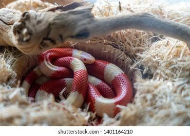 California King Snake in a Terrarium