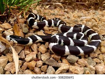 California Kingsnake, Lampropeltis getula californiae - a snake that eats venomous rattlesnakes and other snakes