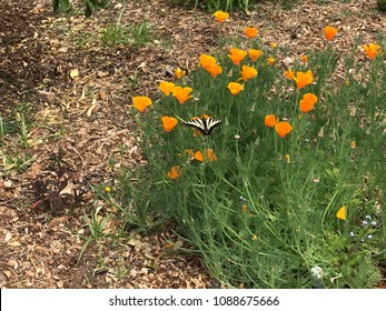 California poppy's with large yellow butterfly
