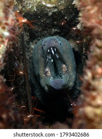 California Moray Eel and cleaner shrimp