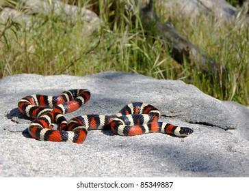 California Mountain Kingsnake (King Snake), Lampropeltis zonata multicincta, mimic of the dangerous Coral Snake and nearly identical to the Arizona Mountain Kingsnake