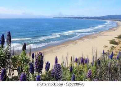 California nature - Stinson Beach landscape. Pride of Madeira (Echinum fastuosum) shrub.