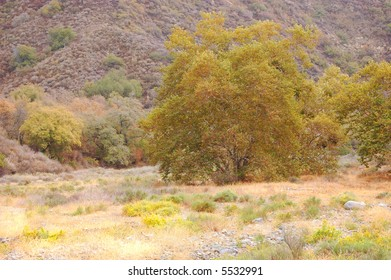 California Oak Tree in Dry Creek Bed