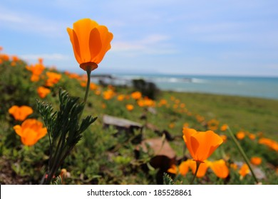 California orange poppy flower