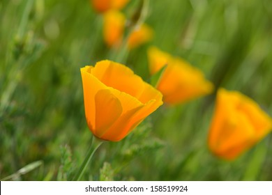 California Orange Poppy Macro Close Up