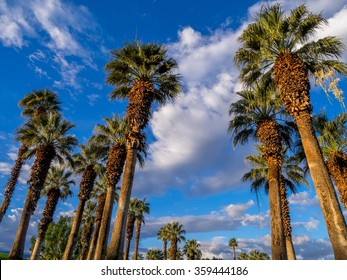 California Palms and the blue sky at a Palm Desert golf resort.