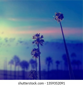 California palms on the blue sky.  Beautiful summer vibes in Los Angeles.