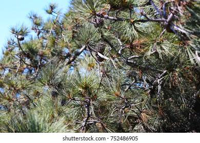 California Pine Cone