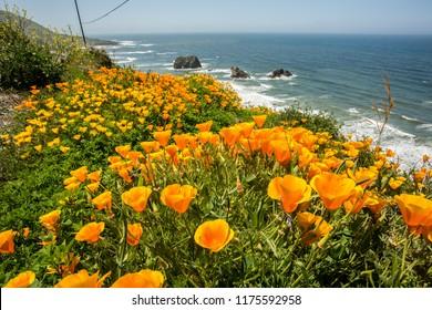 California poppies along the California coast near Shelter Cove, CA