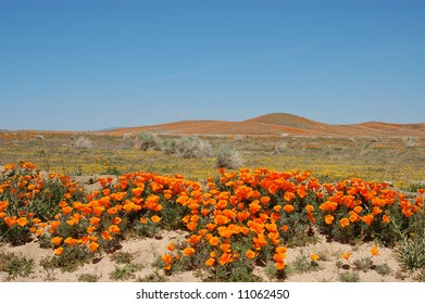 California poppies; Antelope Valley California Poppy Reserve; Lancaster, California