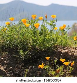 California poppies bloom in a super bloom near a lake