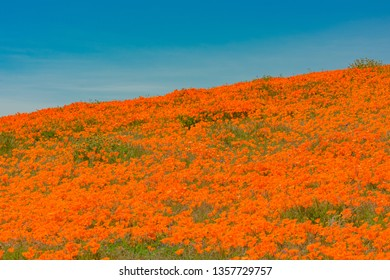 California Poppies blooming at Antelope Valley Poppy Reserve, California