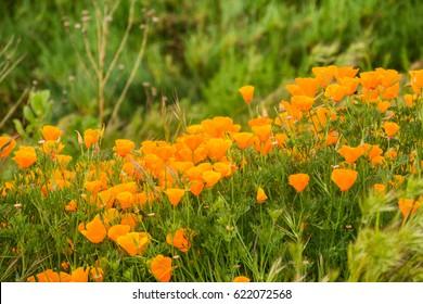 California Poppies (Eschscholzia californica) growing on a meadow, San Jose, south San Francisco bay, California