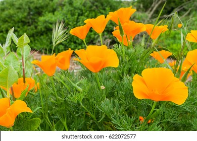California Poppies (Eschscholzia californica) growing on a meadow, San Jose, south San Francisco bay, California