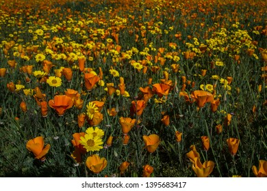 California poppies in field along Sacramento River Tehama County