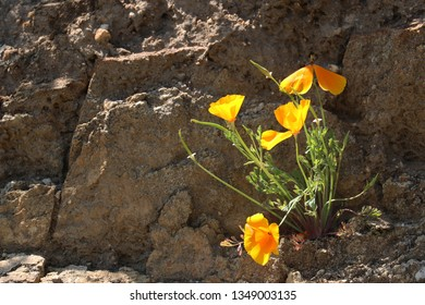 California poppies grow out of a rocky ledge
