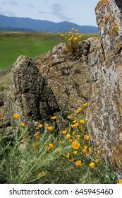 California poppies growing around lichen covered rocks at Santa Teresa County Park.