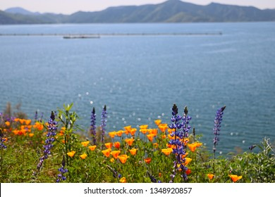California poppies and lupine grow wil on the bank of a lake