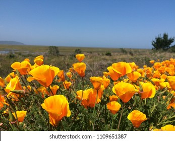 California poppies on Humboldt coast in spring.