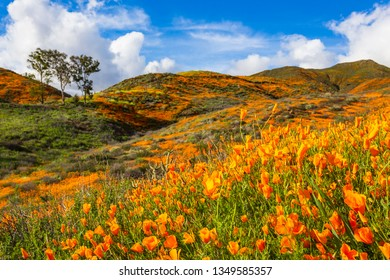 California Poppies Superbloom in Walker Canyon.