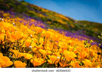 California poppies and wildflowers color the mountains during the super-bloom in southern California.
