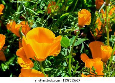 California Poppis in bloom, Super Bloom 2019