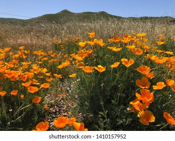California poppy blooming in the wild