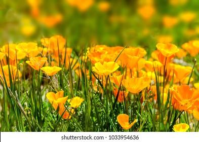 California Poppy (Eschscholzia californica) field near Figureoa Mountain, California, USA