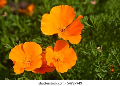California poppy (Eschscholzia californica) is native to grassy and open areas from sea level to 2,000m (6,500 feet) altitude in the western United States throughout California