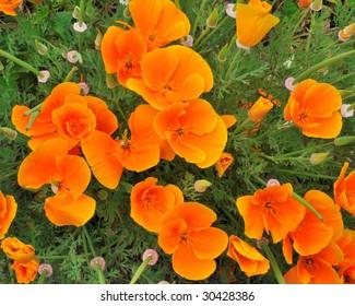 California Poppy (Eschscholzia Californica) - Papaveraceae