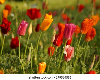 California poppy,  Eschscholzia californica - red,orange,pink,yellow