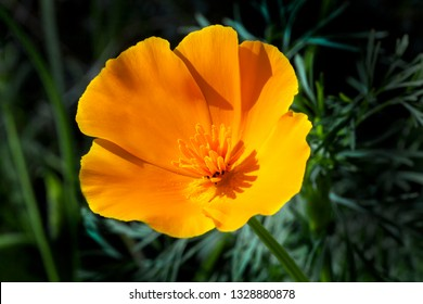 California poppy (Eschscholzia californica) a spring summer red orange or yellow flower plant commonly found in the USA and Mexico