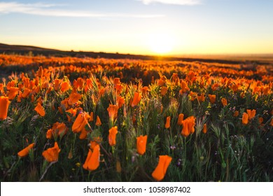 California poppy field in the morning sunrise.