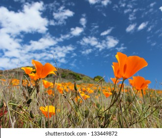 California poppy field in springtime, USA