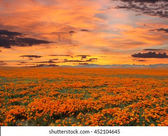 California poppy field with sunrise sky.