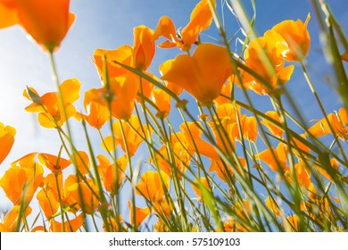 California poppy flower in an open field with the sun.