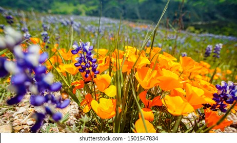 California Poppy and Lupin wildflower during the superbloom in the Los Padres national forest, California, USA