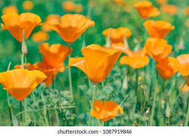 California poppy meadow