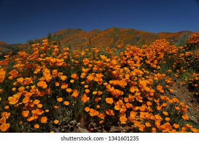 California Poppy Superbloom