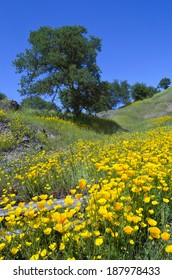 California Poppy wildflowers with White Oak trees, Northern California sierra foothills.