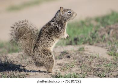 California Prairie Dog standing upright.