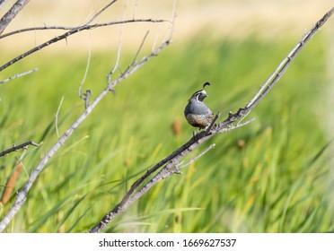 "A California Quail "" Callipepla californica "" sits on a branch."