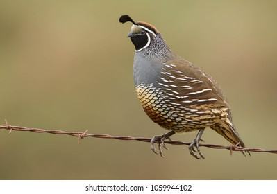 California quail, Callipepla californica, taken in California, USA, taken in wild, Agnieszka Bacal.