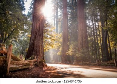 California Redwood Trees in Big Basin State Park