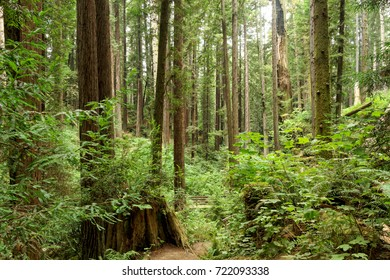 California Redwoods at Arcata Community Forest