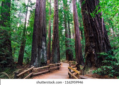 California Redwoods, Muir Woods State Park