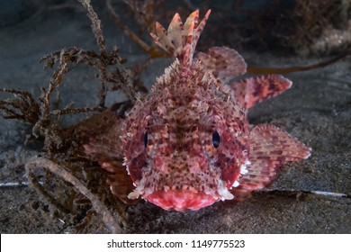 California Scorpion Fish (Sculpin) in Redondo Beach